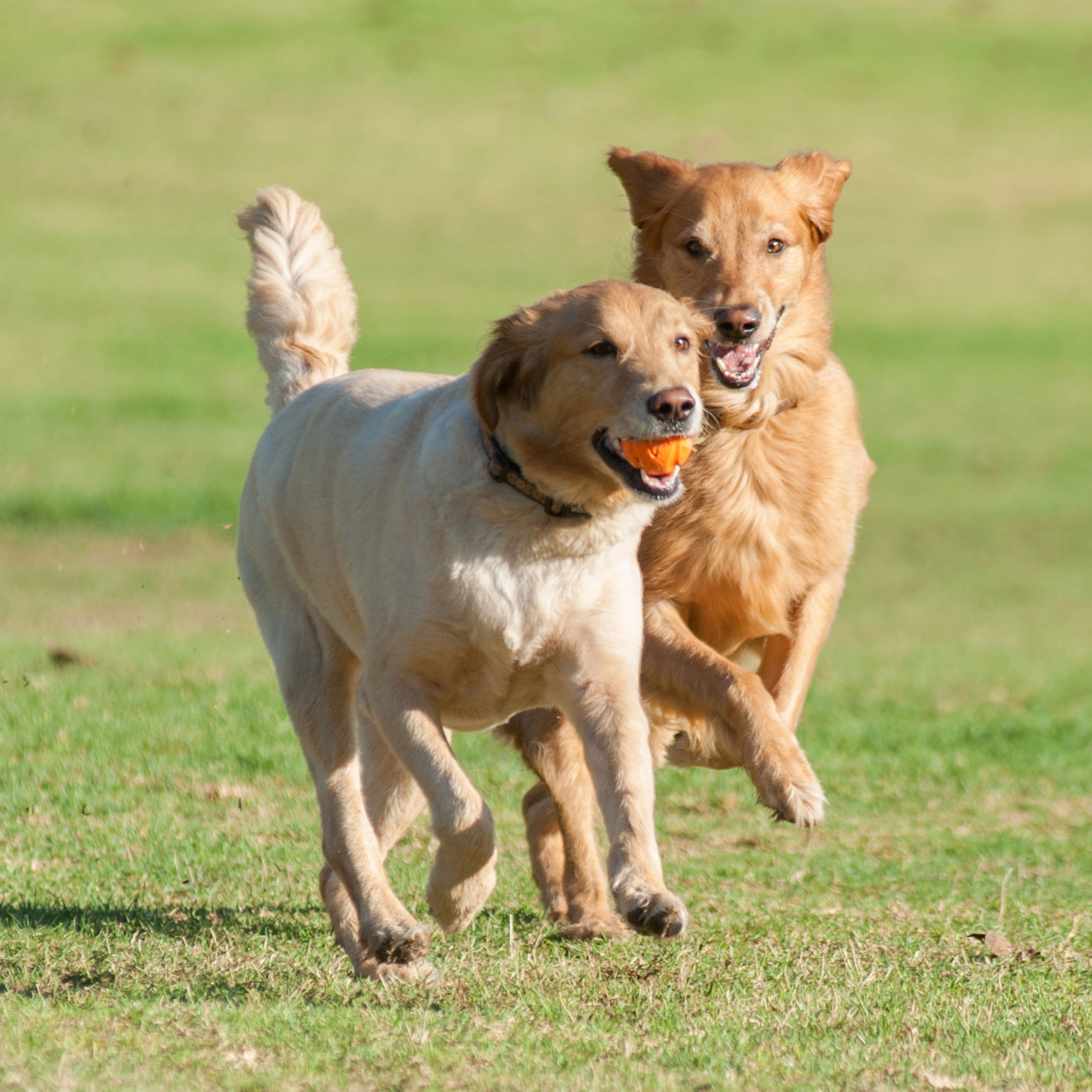 Two golden retrievers playing with a ball
